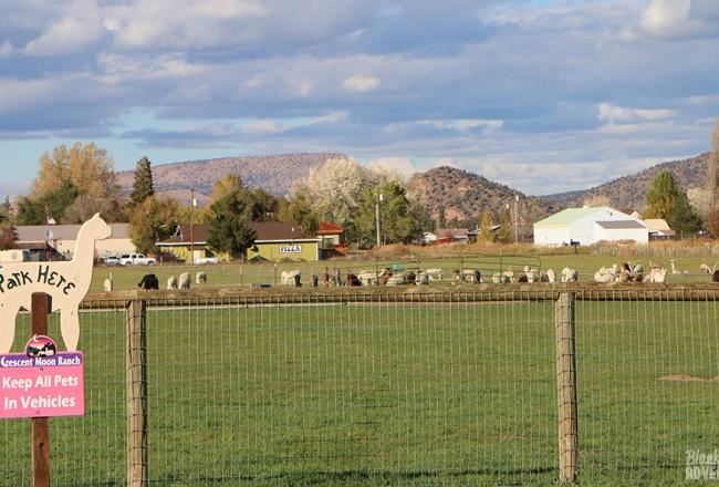 Oregon Alpaca Farm