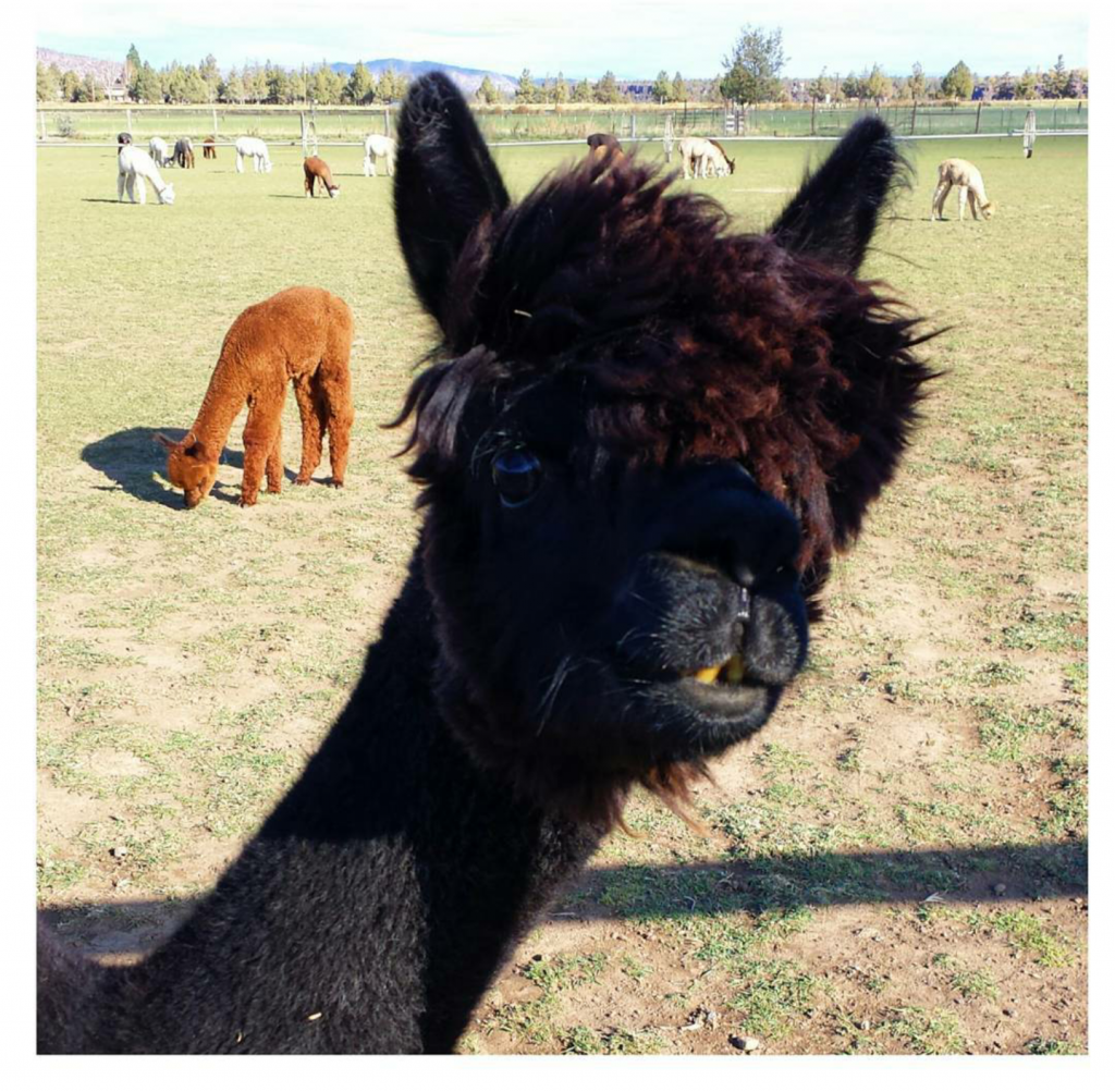 Ringo the Alpaca