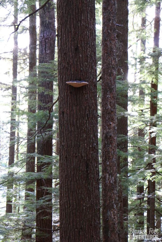 flying saucer mushroom